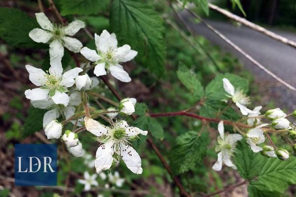 Blackberries bloom along the roadside in Lovelady Gap on Friday, May 5, 2017.