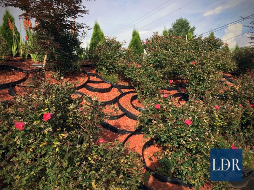 Dr. Almatari worked countless hours over several years mulching and retaining this bank while the roses grow. Weeds are virtually non-existent.