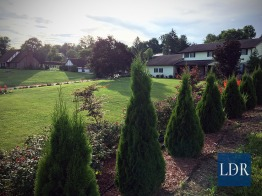 A row of young arborvitæ grow atop the east bank of Dr. Almatari's yard in Jonesville. Many roses grow on this part of the bank, along with Japanese maples (one appears here just left of center).