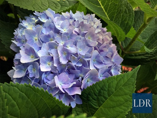 Hydrangea flowers, like these, are indicators of soil pH. Blue flowers occur when the soil pH is acidic (around 5.5 or lower), while pink flowers appear when soil pH is neutral to alkaline (around 7.0 and up).