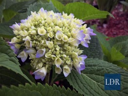 This hydrangea was just beginning to bloom; others were already in full bloom.