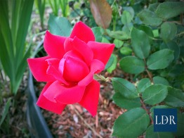 A beautiful, red tea rose opens its delicate petals to the world.