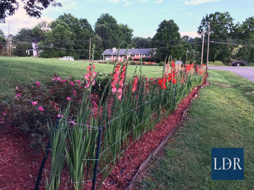 Dr. Almatari installed these frames to keep the gladiolas upright as their heavy blooms can cause them to fall over. The frames are made of coated synthetic string held up by green plastic stakes.