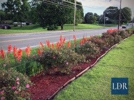 Beautiful red gladiolas, backed by numerous roses line Dr. Almatari's front yard along Main Street in Jonesville.