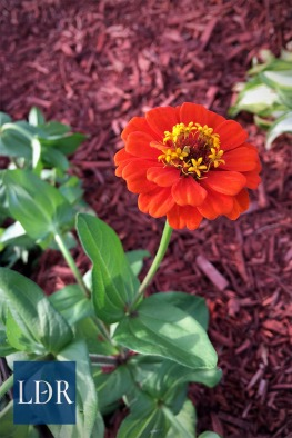 A lovely red zinnia bloomed ahead of most of its cousins.