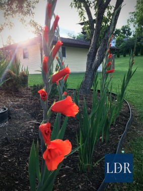 The last rays of sunlight pour onto these gladiolas to the east of Dr. A's house.