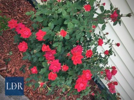 Red roses thrive near the front of the house.